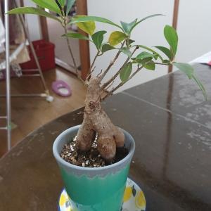 🌴観葉植物【ガジュマル】を植え替えして1ヶ月(*^^*)と風水🌳