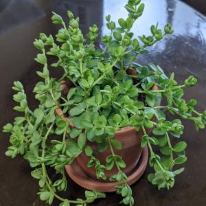 【観葉植物】ぺぺロミア イザベラの花が付き始めました(≧◇≦)