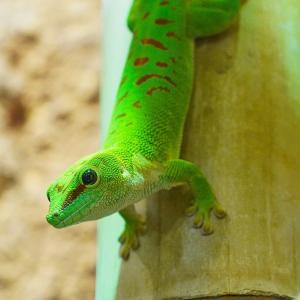 【鮮やかな体色】ヒルヤモリの飼育方法、値段、寿命、分布は?