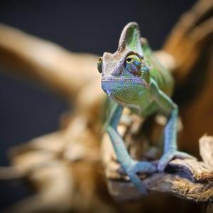 【飼育は簡単!?】エボシカメレオンの飼育方法、値段、寿命、生息地は?