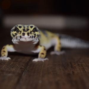 【生き物マニアが勧める】初心者におすすめの爬虫類まとめ