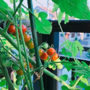 ミニトマト大収穫🍅とアプリ活動📱