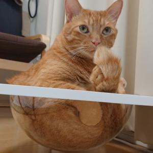 ぽっちゃり猫ちゃんでも安心?おしゃれな透明のカプセルベッドで肉球観察