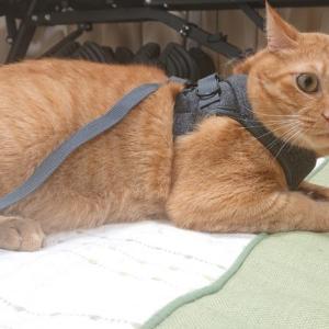 【猫とハーネス】練習を始めて1週間の成果発表