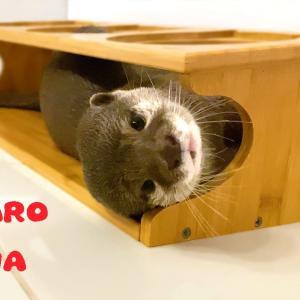 カワウソコタローとハナ いろんなとこで謎の遊びをしてるハナ Otter Kotaro&Hana Playful Funny Girl