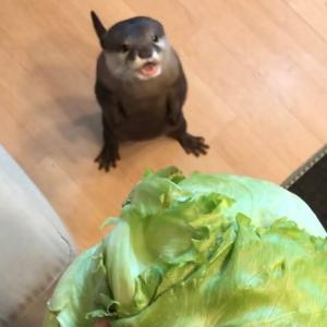 カワウソさくら レタス一玉あげたら大変なことになった I gave the otter an whole lettuce