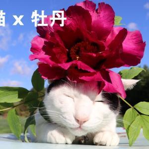 牡丹のせ猫 200529