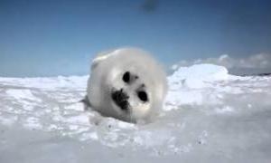 ちょっとおもしろ可愛い赤ちゃんアザラシの癒し動物動画まとめ
