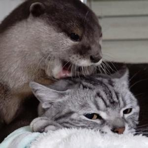 The cat that is not upset as usual even if the otter bites his head[Otter life Day 232]カワウソアティとにゃん先輩