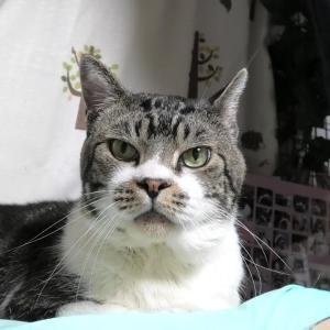 パパが傍にいるだけでうれしくて仕方ない猫は鳴き声カスカス、ゴロゴロが大爆音に♪リキちゃん甘えん坊【リキちゃんねる・猫動画】Cat video きじしろねこのいる暮らし