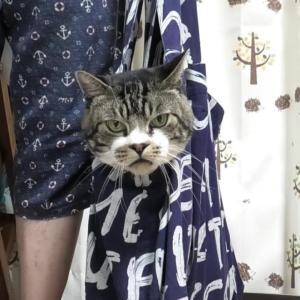 エコバッグに入ってお出かけ気分のねこ☆ペロツボに入りそうで入らないもどかしいリキちゃんの表情が面白いw☆【リキちゃんねる・猫動画】Cat video きじしろねこのいる暮らし