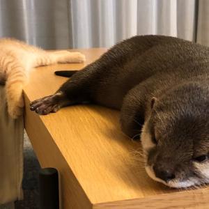カワウソさくら くっついて寝るようになってきたカワウソ otter that sticks and sleeps