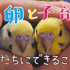《セキセイインコ編》産卵・成長【♪1】