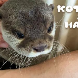 カワウソコタローとハナ ねむい時の鳴き方が超かわいいコタロー Otter Kotaro&Hana Cute Sleepy Voice