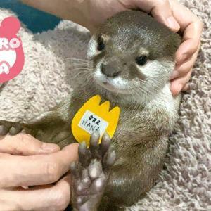 カワウソコタローとハナ 父ちゃんからワッペンもらう Otter Kotaro&Hana Let's Put on Your Name Tag
