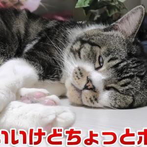 可愛い寝姿だけどよく見ると結構ホラーな猫リキちゃん☆痙攣したり白目むいたりw【リキちゃんねる・猫動画】Cat video きじしろねこのいる暮らし