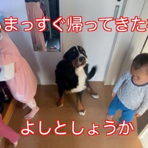 【お出迎え】毎日しっかり父をお出迎えする バーニーズマウンテンドッグ  bernese mountain dog