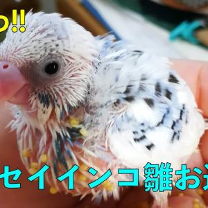激かわ!!セキセイインコ雛お迎え インコ日記#1