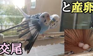 交尾と産卵!!【セキセイインコ】【#10】