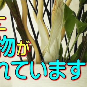 おかしな場所ばかり好んで隠れるオカメインコ669(面白い可愛い動物ペット)parakeet