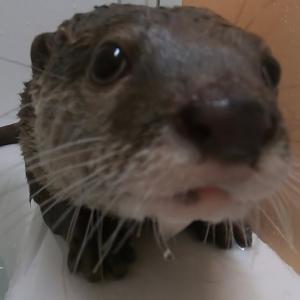 カワウソさくら 新しいお風呂で飼い主と混浴 Otter to bathe with their owner in a new bath