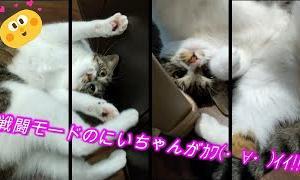 【かわいい 癒し猫動画】【猫動画】【ねこ ネコ キャット CAT 】【048】
