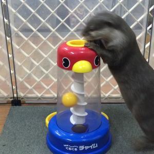 知育玩具で夢中になって遊ぶカワウソ「きなこ」