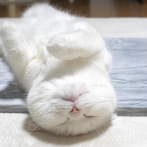 本物の大理石が気持ちよくてへそ天しちゃう暑がり猫!