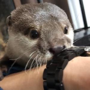 カワウソさくら 丸一日帰らなかった時の出迎えがやばすぎた! Otter when the owner did not return for a day