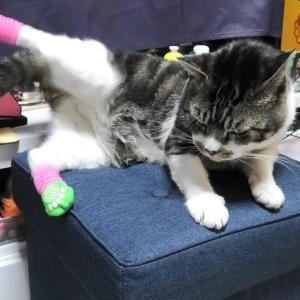 隙をついて猫の後ろ足に靴下を履かせてみる☆靴下より掃除機が気になるリキちゃん☆高速足振り靴下脱ぎが可愛いw【リキちゃんねる・猫動画】Cat video きじしろねこのいる暮らし