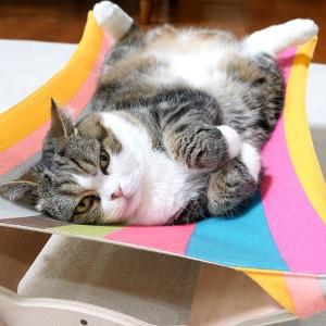 新しいハンモックの使い方を間違えちゃうねこ。-Maru makes a mistake in using the new hammock.-