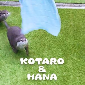 カワウソコタローとハナ 「キェー!」と父ちゃんを追いかけ回す2人 Otter Kotaro&Hana Run Around the Garden