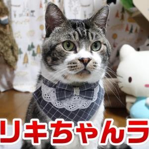 週末はリキちゃんとまったり過ごそうLIVE☆ねこライブ配信☆夜のねこの様子【リキちゃんねる・猫動画】Cat video きじしろねこのいる暮らし