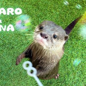 カワウソコタローとハナ 初めてシャボン玉を見た2人 Otter Kotaro&Hana Playing with Bubbles