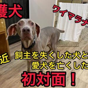 保護犬ワイマラナー初対面!【保護犬アリス】