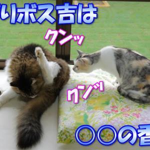 ボス吉の匂いを嗅いでみた三毛猫ネコ吉