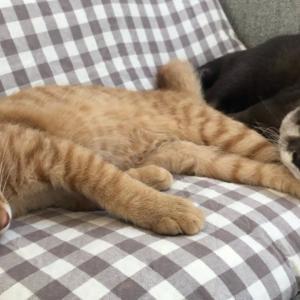 カワウソさくら 猫ケツに頭突っ込んで爆睡するカワウソ   otter that puts its head on the buttocks of a cat and sleeps