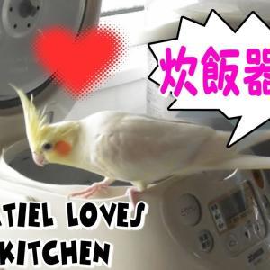 キッチン大好きなオウム 可愛いオカメインコ・エマの日常|面白動物癒し動画 Cockatiel loves the kitchen