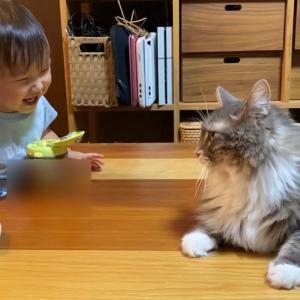 撫で方の違いに気付く猫 ノルウェージャンフォレストキャット Stroke to notice the difference. Norwegian Forest Cat.