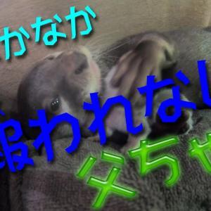 【カワウソ】わかばやし父ちゃんの報われない日々【#4】 / Otter family video #4