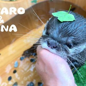 カワウソコタローとハナ はっぱ乗せたらカワウソに怒られた Otter Kotaro with Leaf on Head