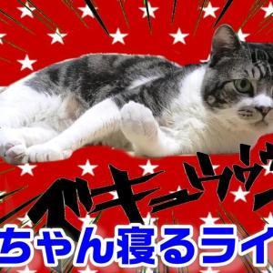 週末リキちゃん寝る(?)ライブ☆EOSRでねこライブ配信☆夜のねこの様子【リキちゃんねる・猫動画】Cat video きじしろねこのいる暮らし