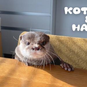 カワウソコタローとハナ 完全にカワウソ幼稚園な我が家 Otter Kotaro&Hana My Home is Otter Kindergarten