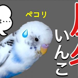 反省するインコ 【おしゃべりインコ】ぴのちゃん