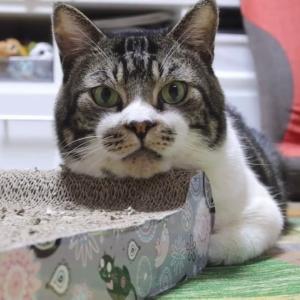 悲報!つめみがきは枕にされるw☆リキちゃん流爪磨き活用法☆まったりうとうとする猫を眺める動画・EOSR撮影【リキちゃんねる・猫動画】Cat video きじしろねこのいる暮らし