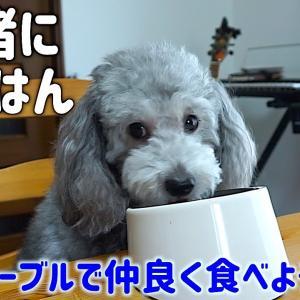 🐶犬とテーブルで一緒にご飯を食べるようになった理由。【トイプードルのグリィ】【犬】【dog】【toy poodle】