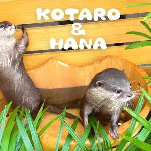 カワウソコタローとハナ 南国スパ気分になってるカワウソ Otter Kotaro&Hana The Tropical Spa