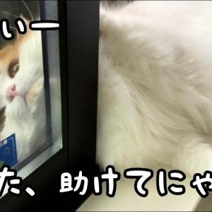 むにむにのお顔が窓と網戸の隙間に挟まってしまった猫!