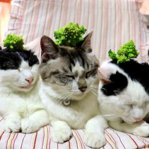 ロマネスコをのせた猫 200916