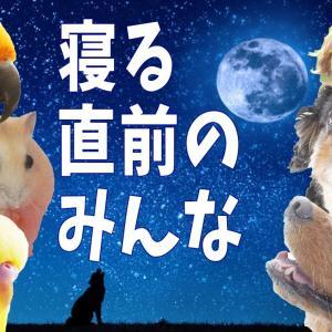 就寝前の犬とインコとハムスター「おやすみ」のルーティン 多頭飼いの夜 可愛い動画1073